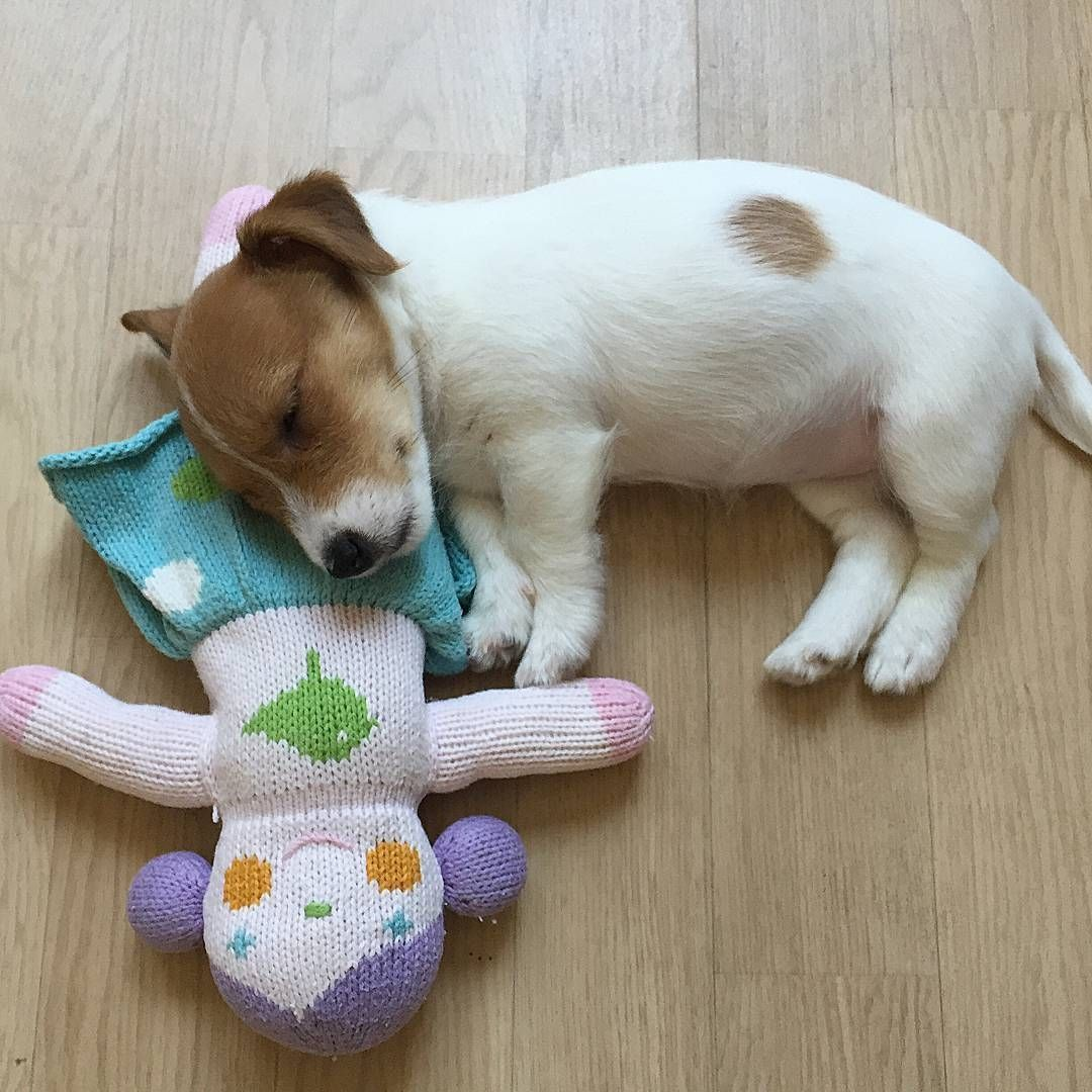 Terrier Jack Russell Smooth Coat Puppy Cjk Jack Russell