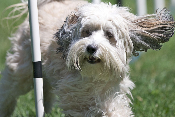 Dogs That Don't Shed 23 Hypoallergenic Dog Breeds