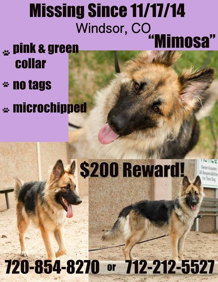 Colorado Lost Stolen Dog We Got A Call From A Lady Who Had Seen Mosa S Picture On Facebook And Thought It Was The Same Do Losing A Dog German Shepherd Dogs