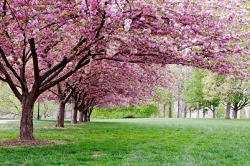 Double Cherry Tree Cherry Trees Garden Flowering Cherry Tree Cherry Tree