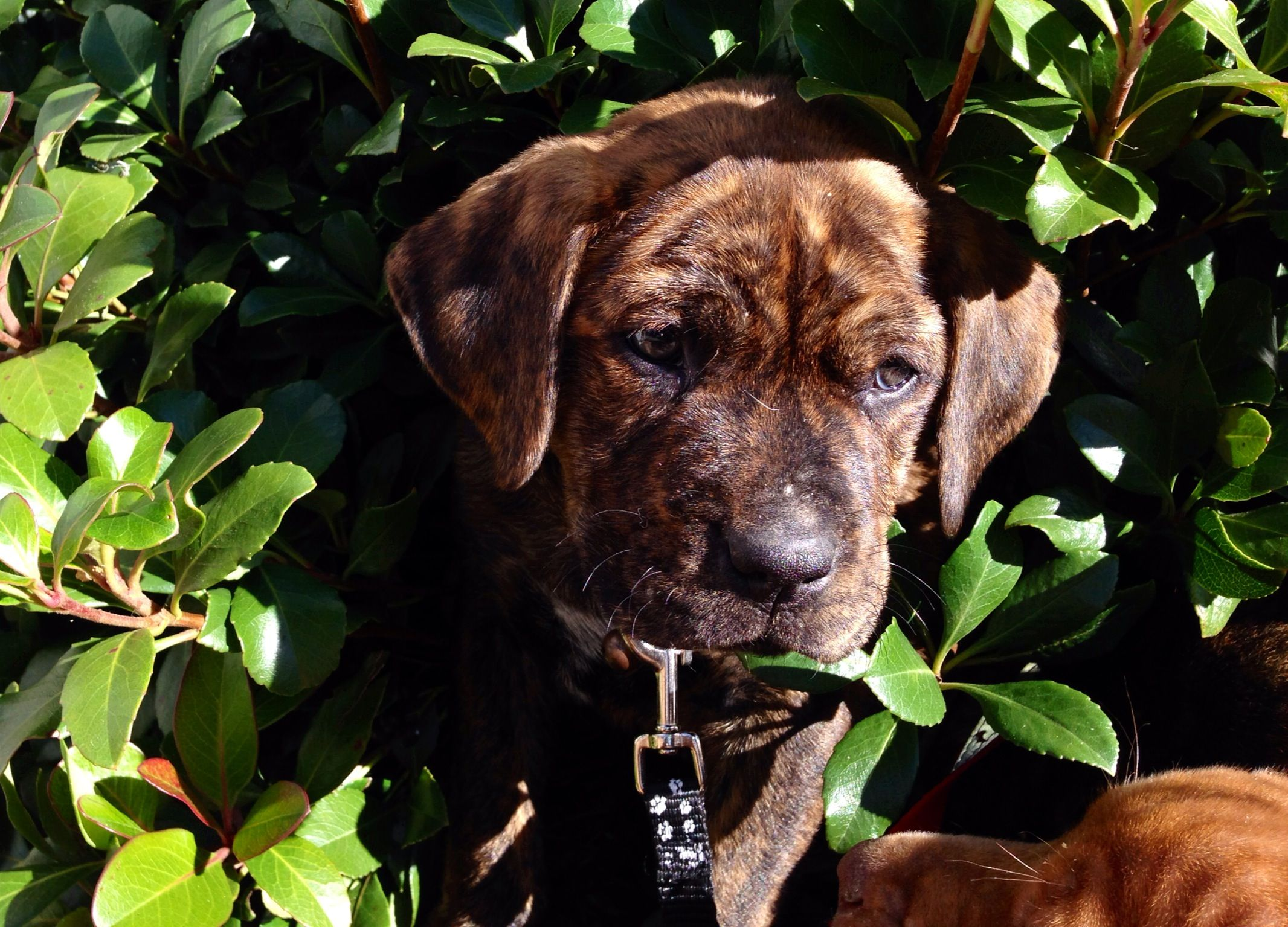 Brindle pit mix puppy in the bushes animals puppies
