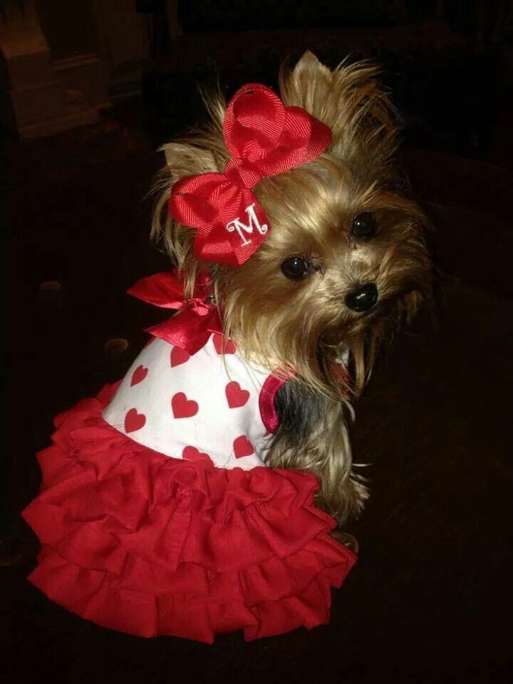 Cute Dress Yorkies Yorkie Puppies Dogs