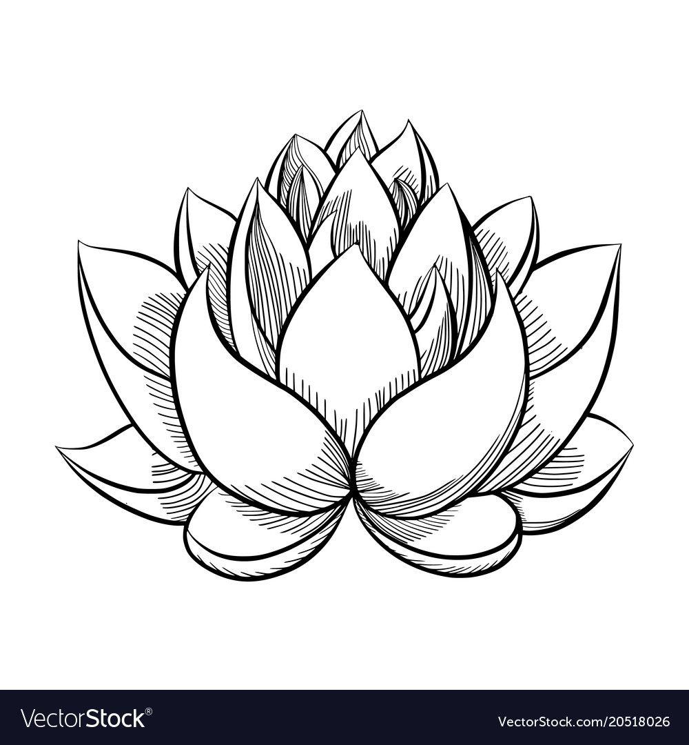 Lotus flower bloom Royalty Free Vector Image VectorStock