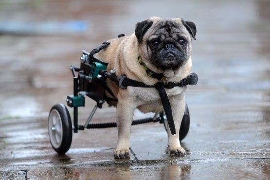 Dog Wheels for Hind Legs | Pug dog with wheels for back legs