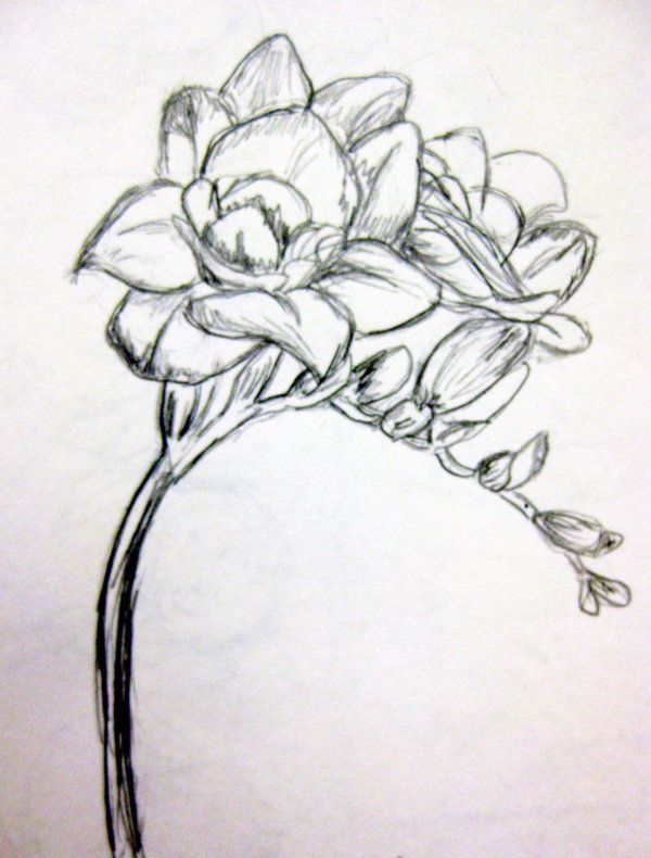 Freesia Sketch Flower Drawing Flower Outline Black Tattoos