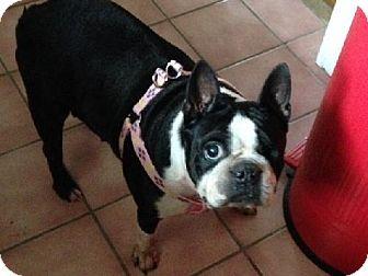 Providence Ri Boston Terrier Meet Wendy In Ri 299 Come Meet Me A Dog For Adoption Boston Terrier Pets Dog Adoption