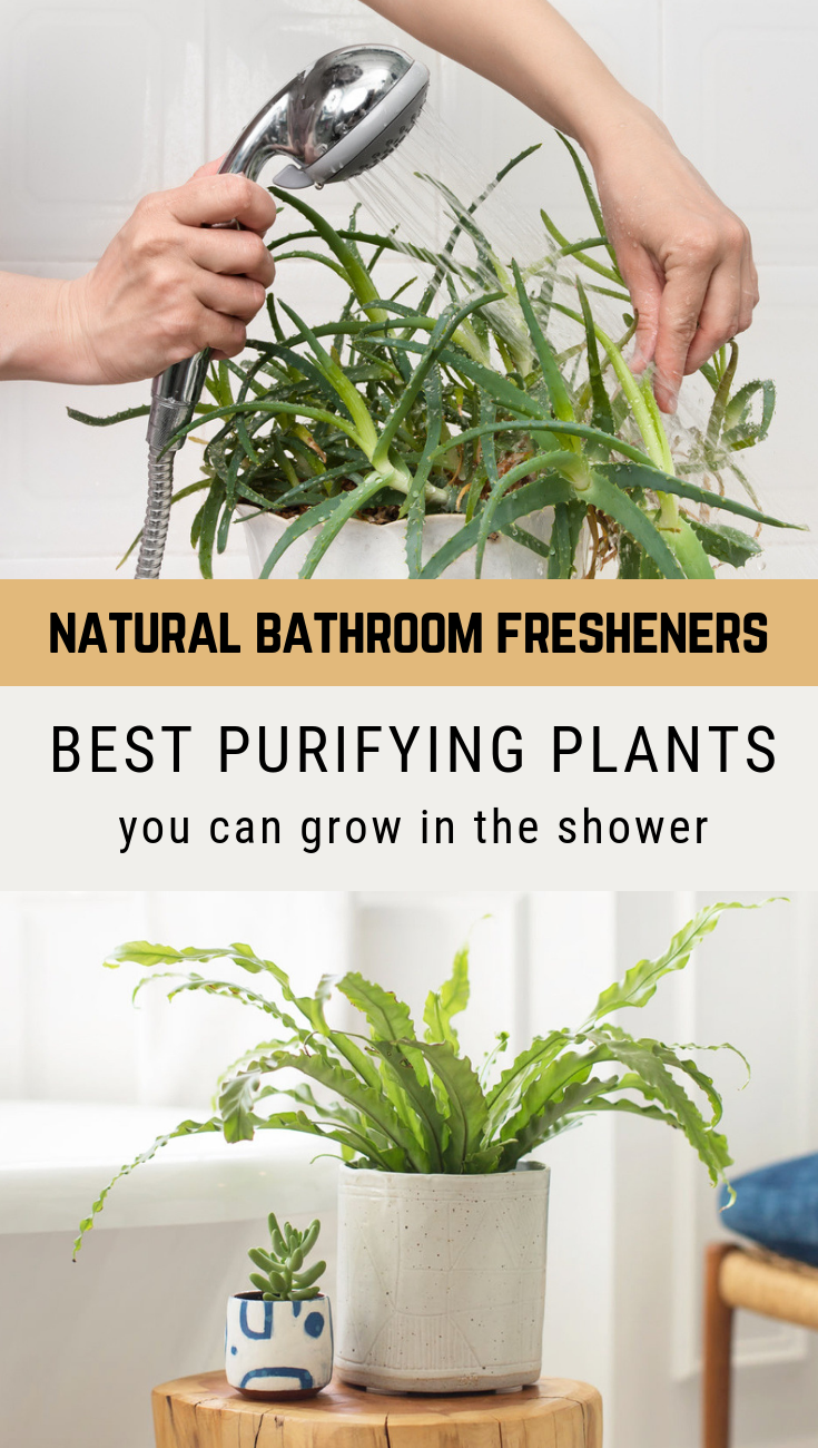 Natural Bathroom Fresheners   Best Purifying Plants You Can Grow In The  Shower   GardenTipz.com