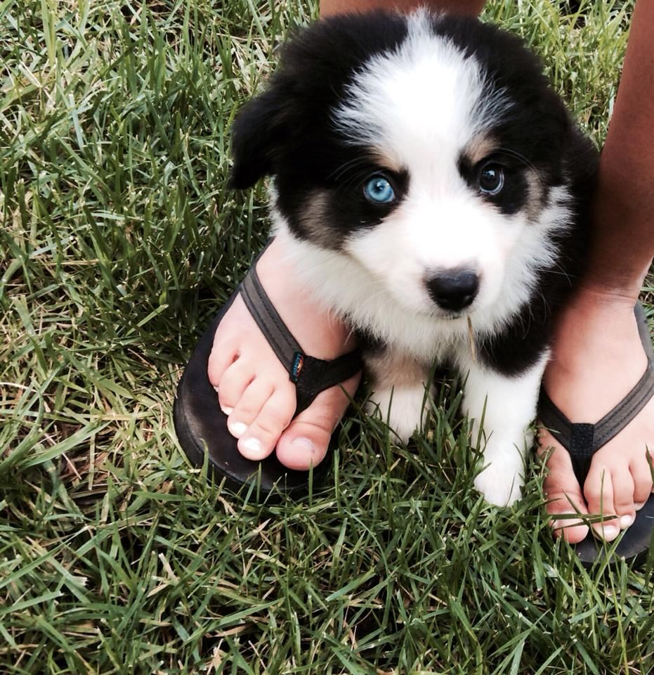 Our New Mini Australian Shepherd He Has One Blue Eye And One