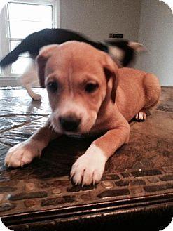 Dallas, TX - Shepherd (Unknown Type)/Labrador Retriever Mix. Meet Scooter, a puppy for adoption. http://www.adoptapet.com/pet/12044519-dallas-texas-shepherd-unknown-type-mix