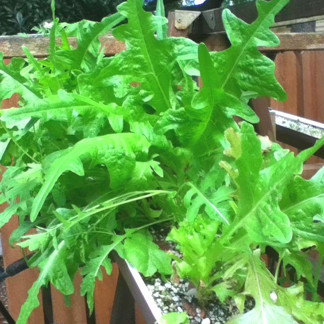 Hydroponic lettuce growing in perlite in rain gutters ...