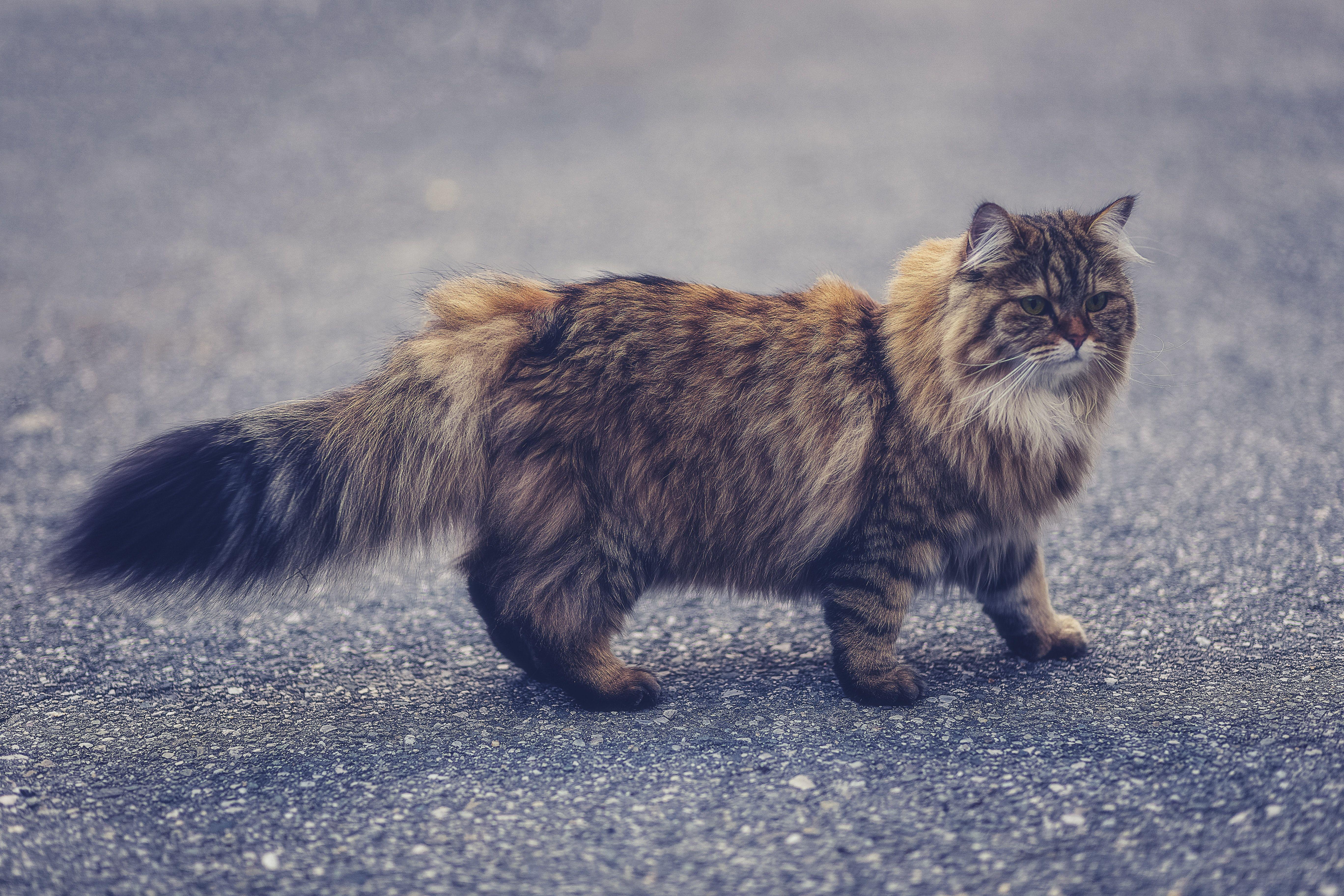 Cat Pet Manx Brown Persian Cat Brown Persian Cat Walking Neighbors Princess Persian Cat Cat Love Cat Day