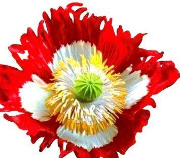 Afghan Poppy Danish Flag Danish Flag Poppy Flower Seeds Poppy Flower Seeds