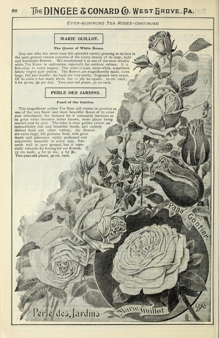 Our new guide to rose culture : 1899