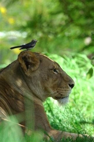 Brave Bird It Must Sense Something About The Lioness Or There Is A Relationship Humans Have Missed Animals Beautiful Wild Cats Cute Animals