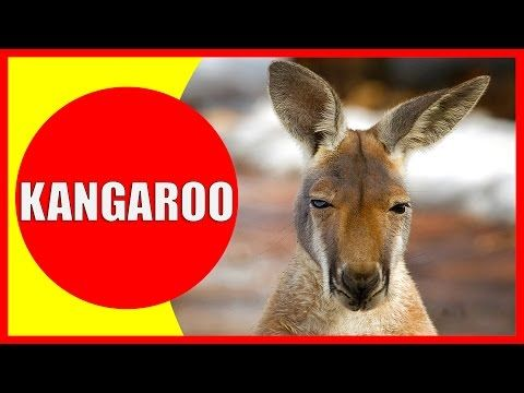 Kangaroo for Kids - Facts and Information about Kangaroos for ...