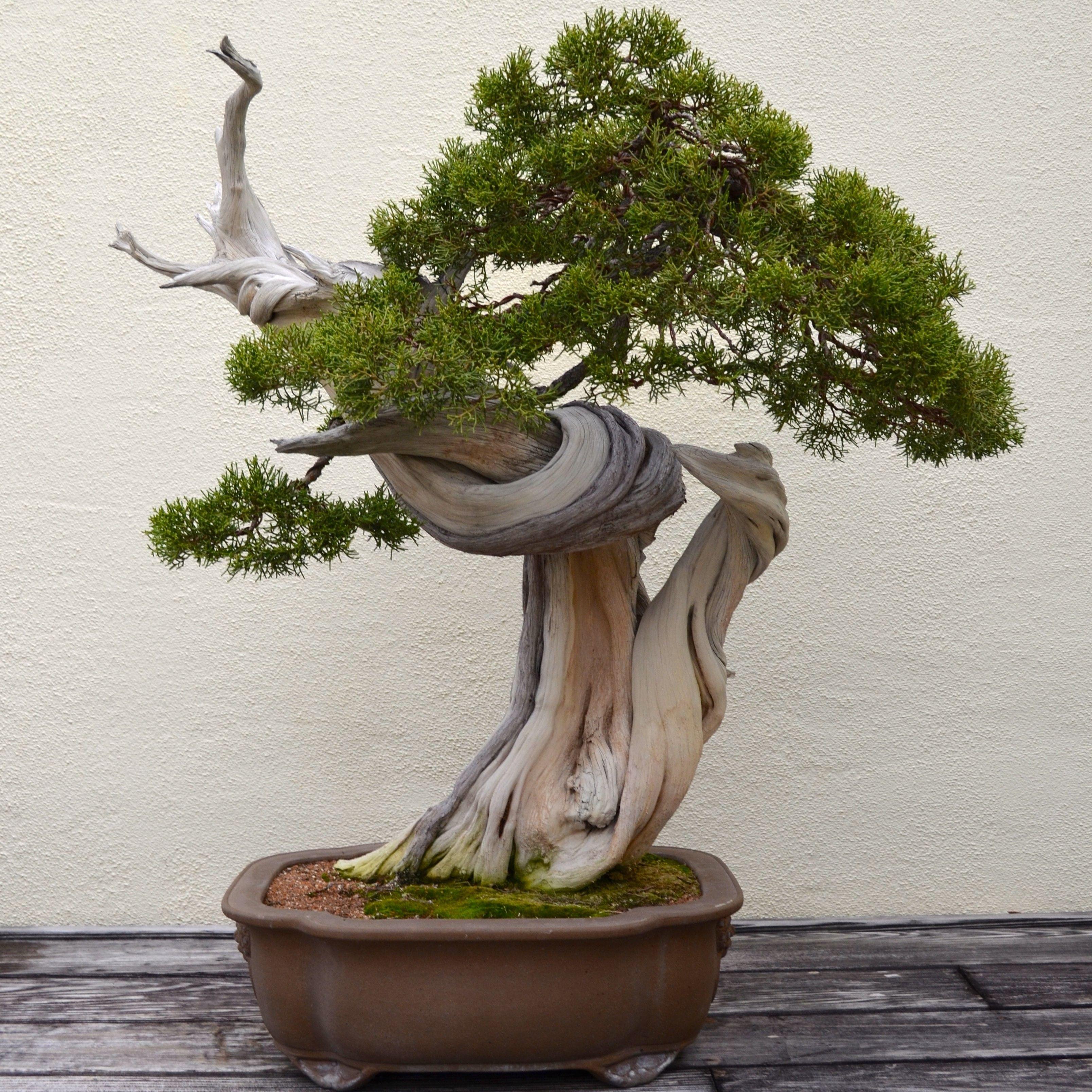 bonsai tree for beginners bonsai pinterest kleine b ume die kleinen und baum. Black Bedroom Furniture Sets. Home Design Ideas