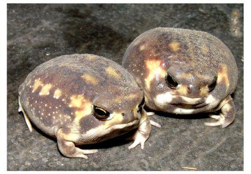 名古屋のペットショップ リミックス 熱帯魚 海水魚 爬虫類 小動物の品ぞろえは東海地区最大級 今年も着弾 相撲蛙こと雨膨蛙 近々入荷 かわいい カエル カエル画像まとめ 両生動物