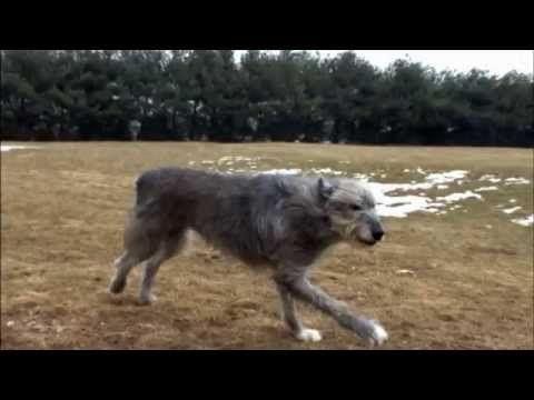 Dog Breeds Irish Wolfhound Dogs 101 Animal Planet Youtube