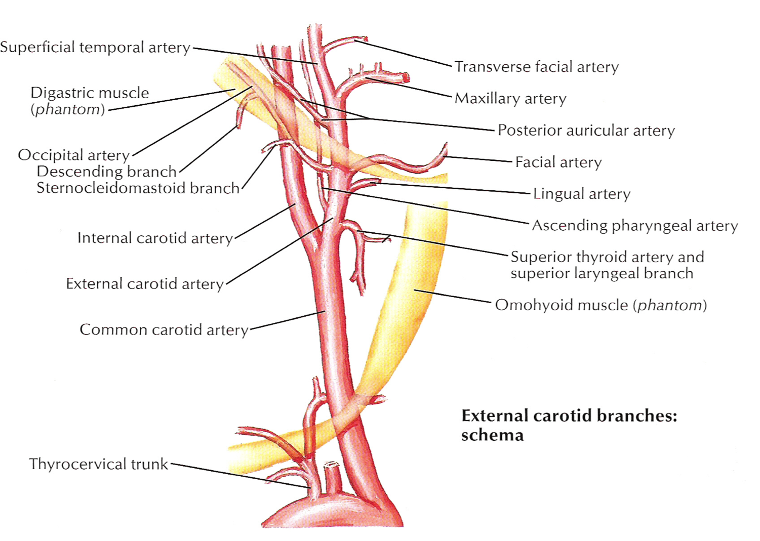 branches of ica by atlas anatomy - Google Search | vascular ...