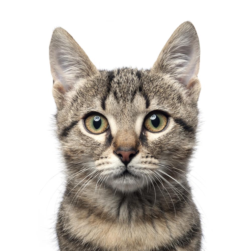 Little Gray Kitten Portrait On Gray On Portrait Little Kitten Grey Kitten Cats That Dont Shed Tabby Cat