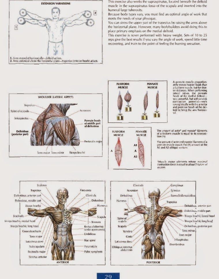 Shoulders Anatomy