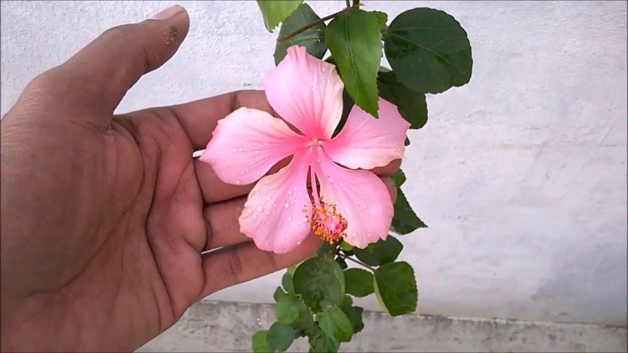 Hibiscus Care Hibiscuscare