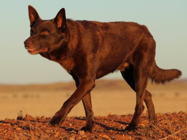Koko Who Played The Part Of Red Dog In The Movie About A Dog That Unites Remote Outback Communities In The Pilbara Regi Famous Dogs Red Dog Australian Kelpie