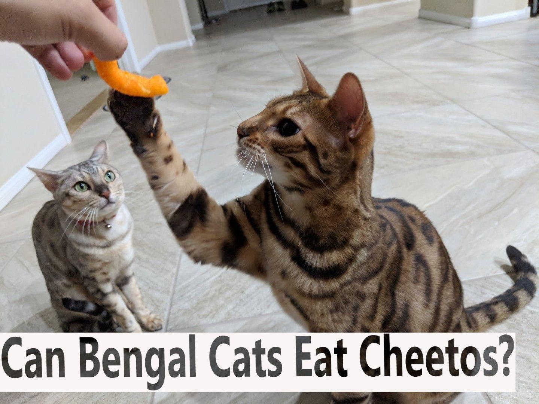 Can Bengal Cats Eat Cheetos Blindbengal Bengal Cat Cats Bengal