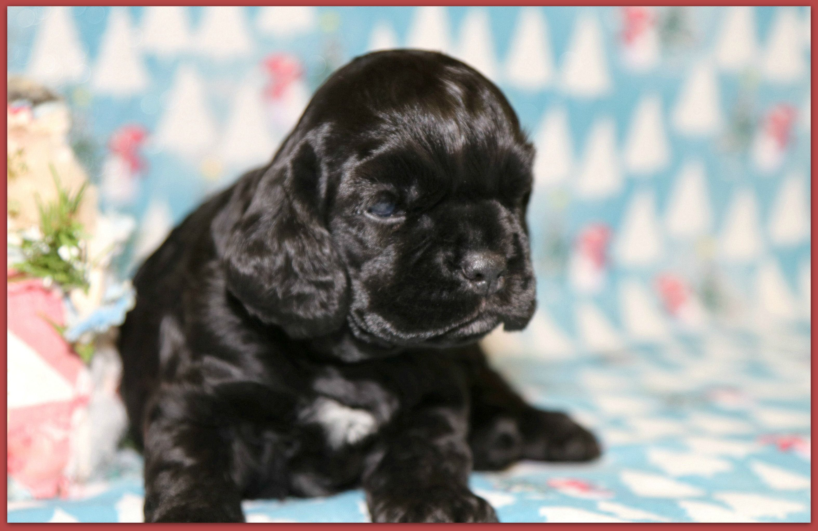 Caedence 3 Week Old Black Cocker Spaniel Puppy Having Some