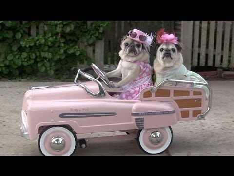 Snoring Pugs Cute Pugs Snoring Compilation Youtube Dogs
