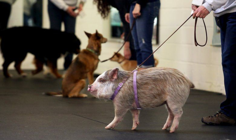 Amy The Pet Pig Hams It Up With Canine Pals At The Family Dog