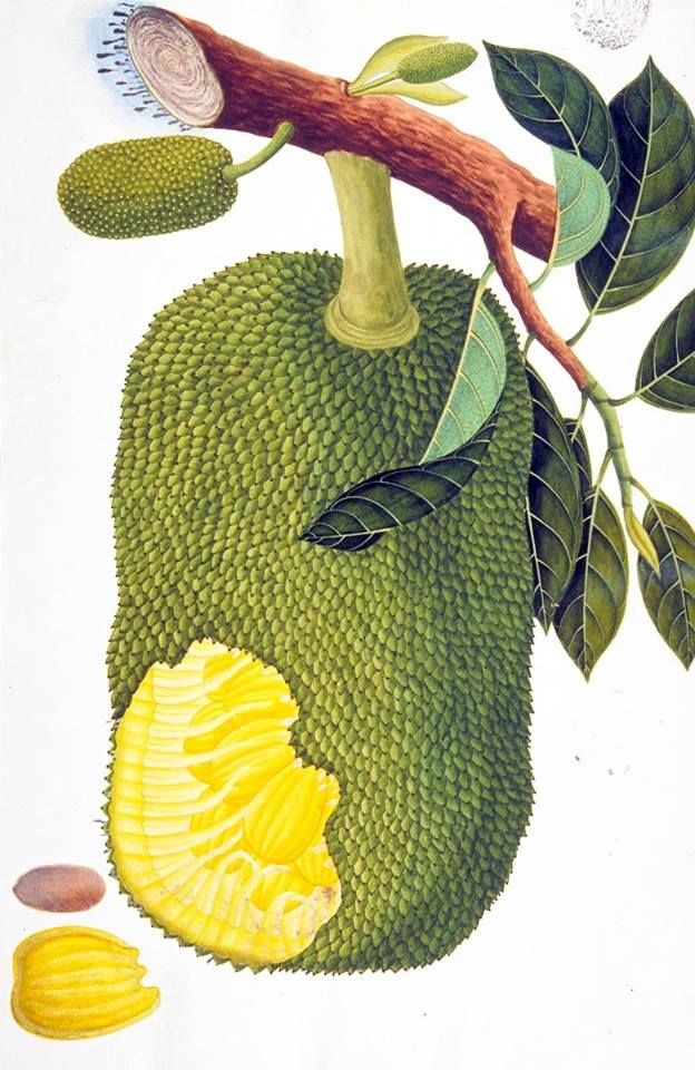 Jackfruit From The William Farquhar Collection Of Natural History Drawings Source National M Jackfruit Drawing Vegetable Illustration Botanical Illustration But the tree is really pretty, mainly in spring. jackfruit from the william farquhar