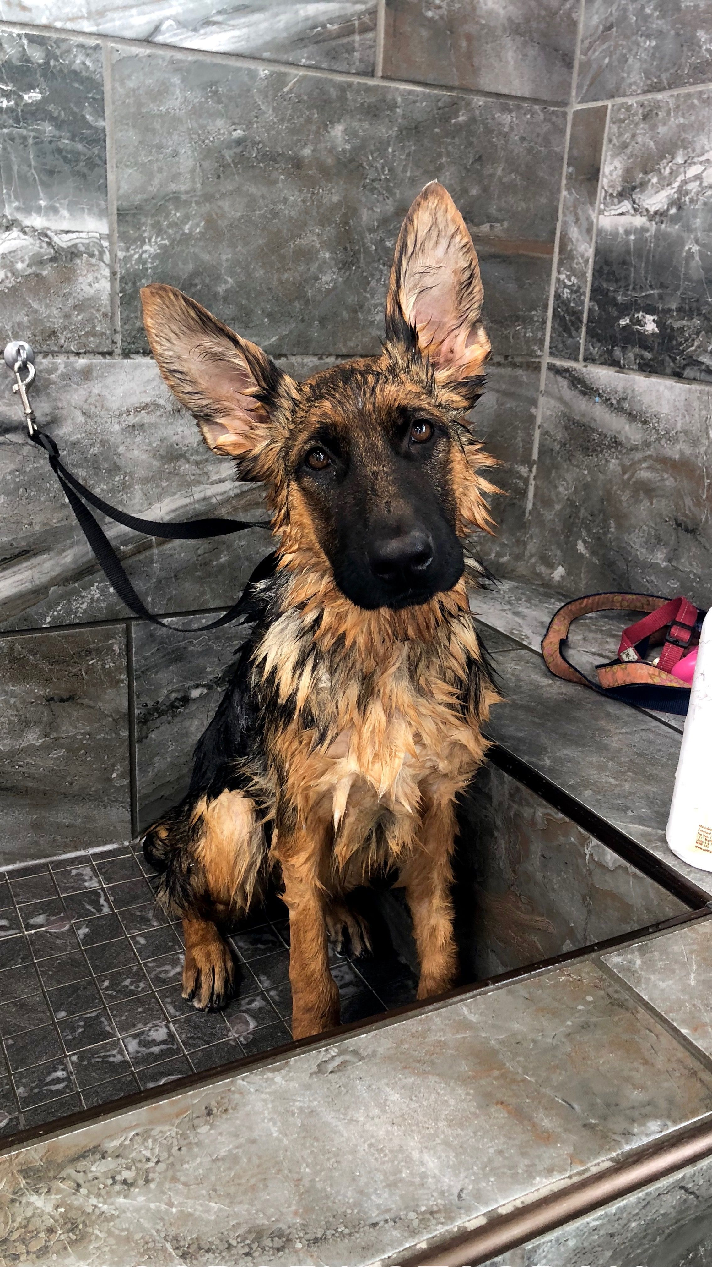 Shower Time For German Shepherd Rickmauch Classicazhomes