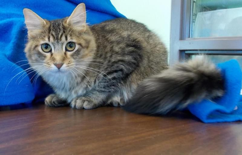Adopt Flynn Fluffy Tail On With Images Long Haired Cats Humane Society Fluffy