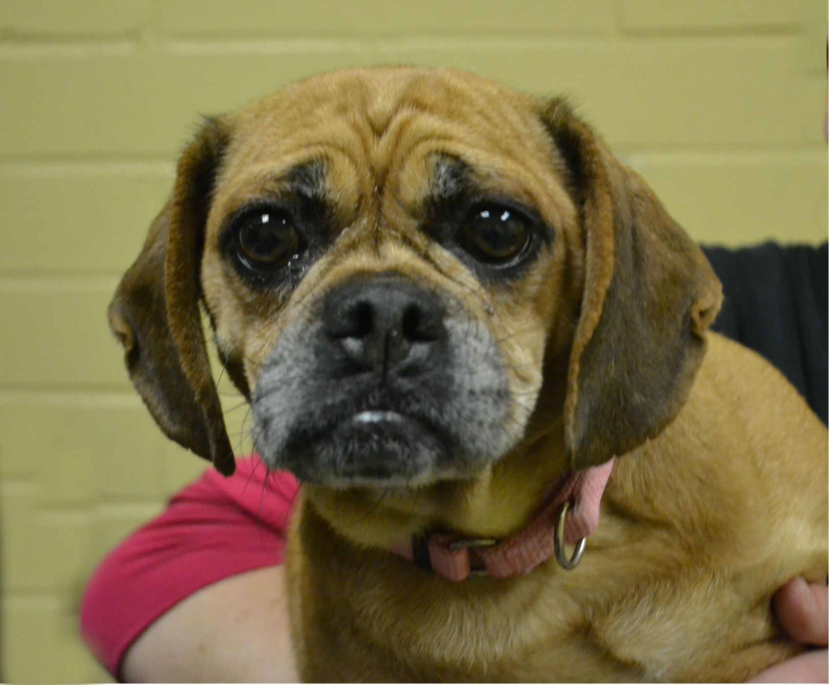 Beabull Dog For Adoption In Akron Oh Adn 531414 On Puppyfinder
