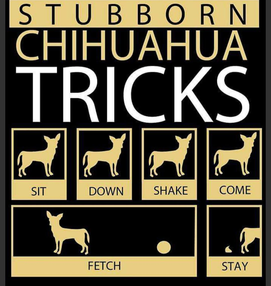 Pin by Sherry Garrett on chihuahua | Chihuahua funny ...
