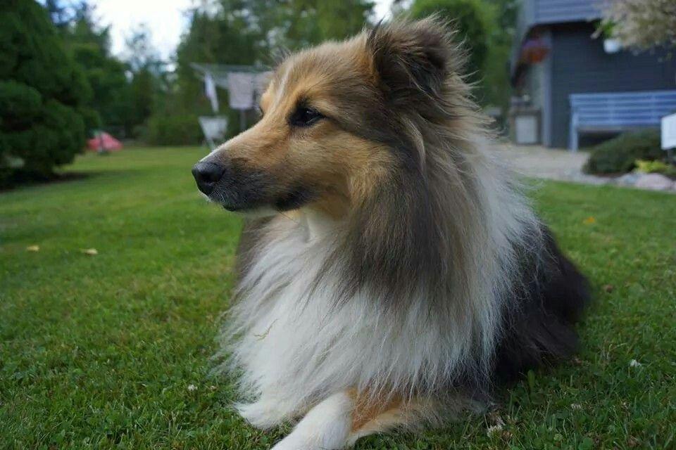 My own little Shetland sheepdog ♡