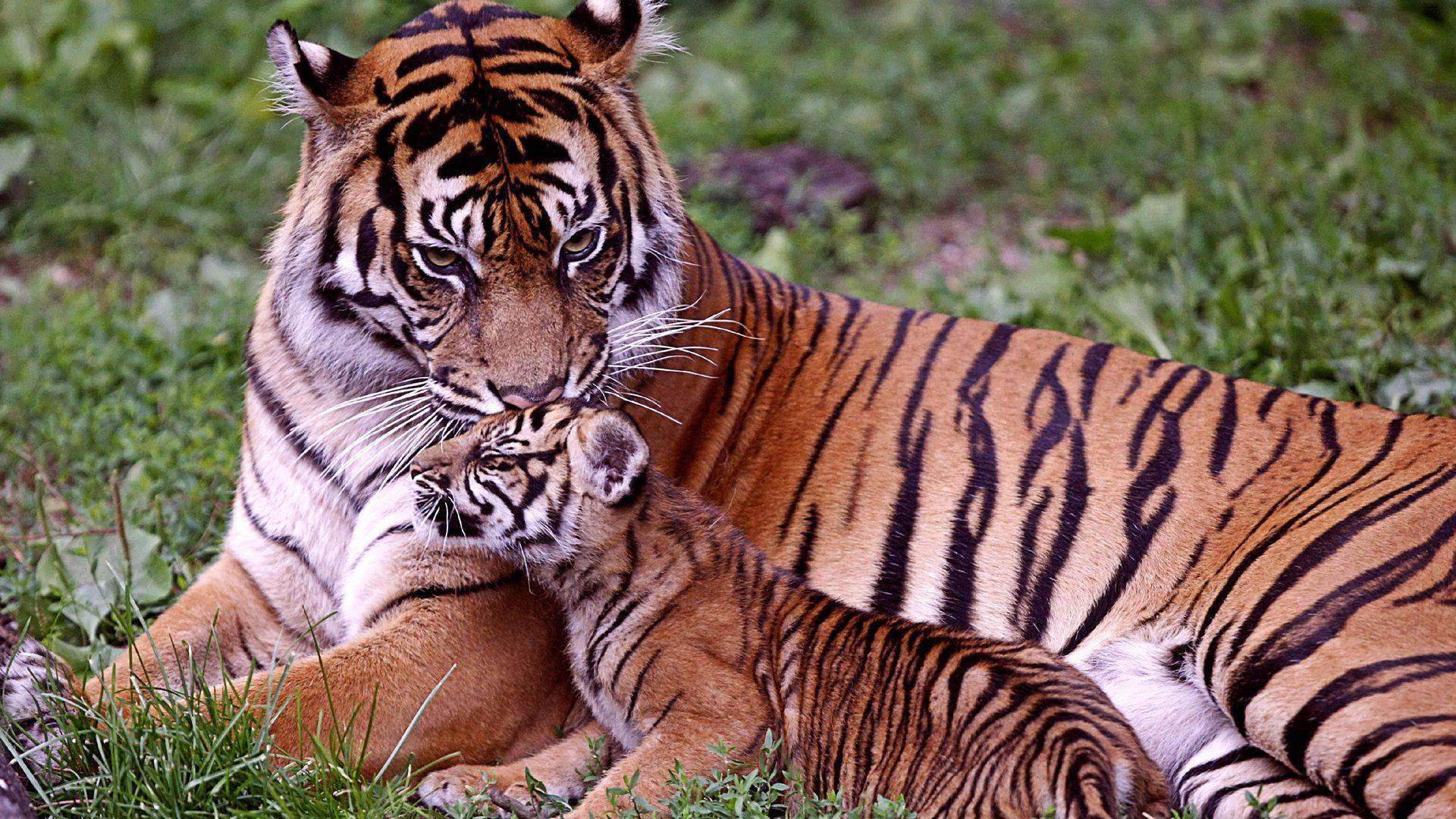 Bengal Tiger Bengal Tiger 1920x1080 Wallpapers,Tiger