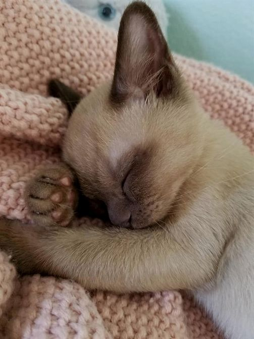 Pin By Leah Jackson On Awwwww Burmese Kittens Cat Sleeping Cute Cats