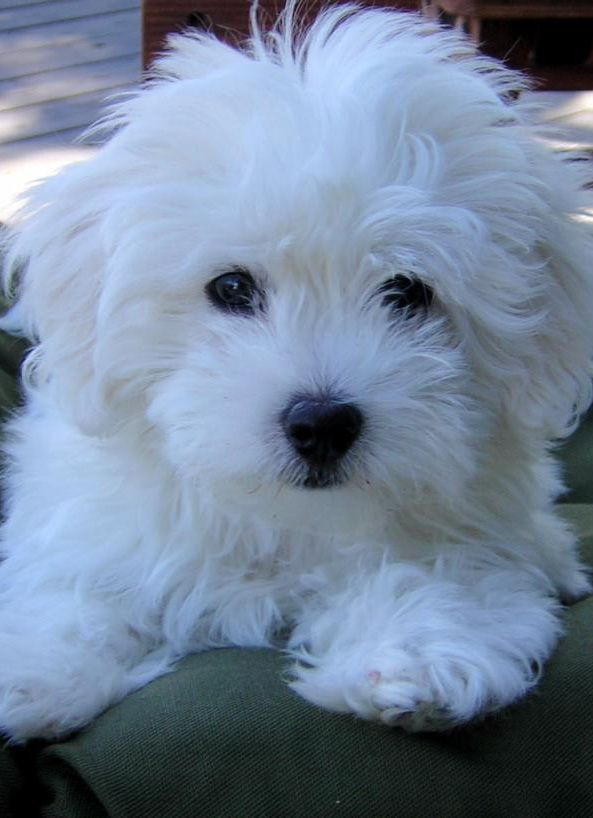 Litter Of 4 Bichon Frise Puppies For Sale In Kent Wa Adn 63523