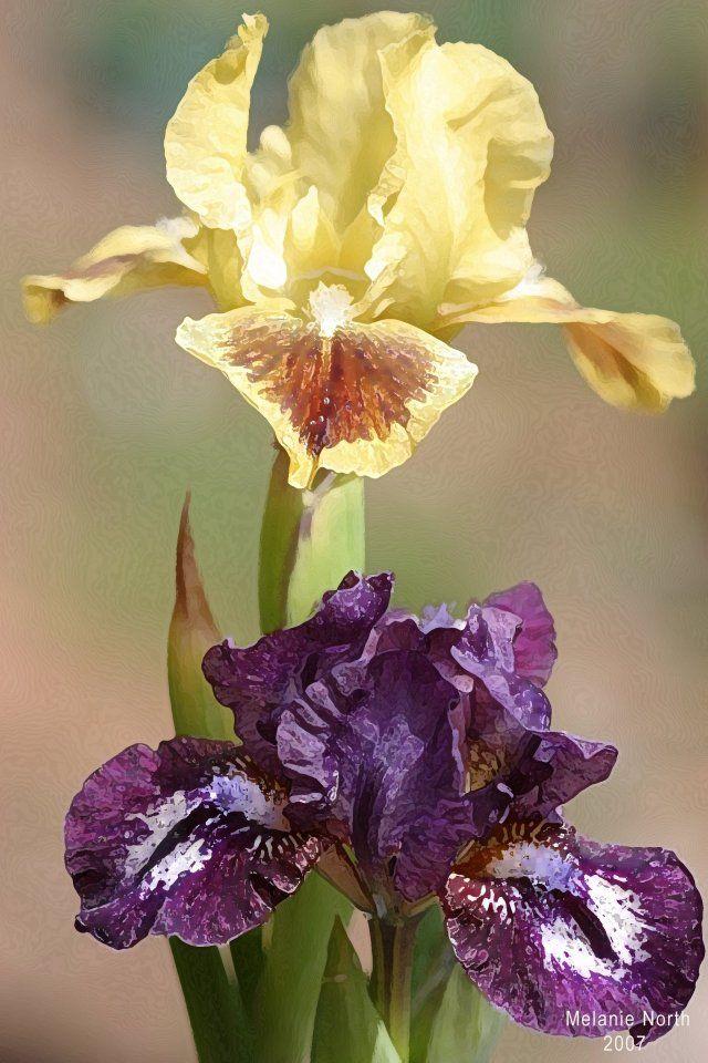 irises iris pinterest iris flowers and flower photography rh pinterest co uk