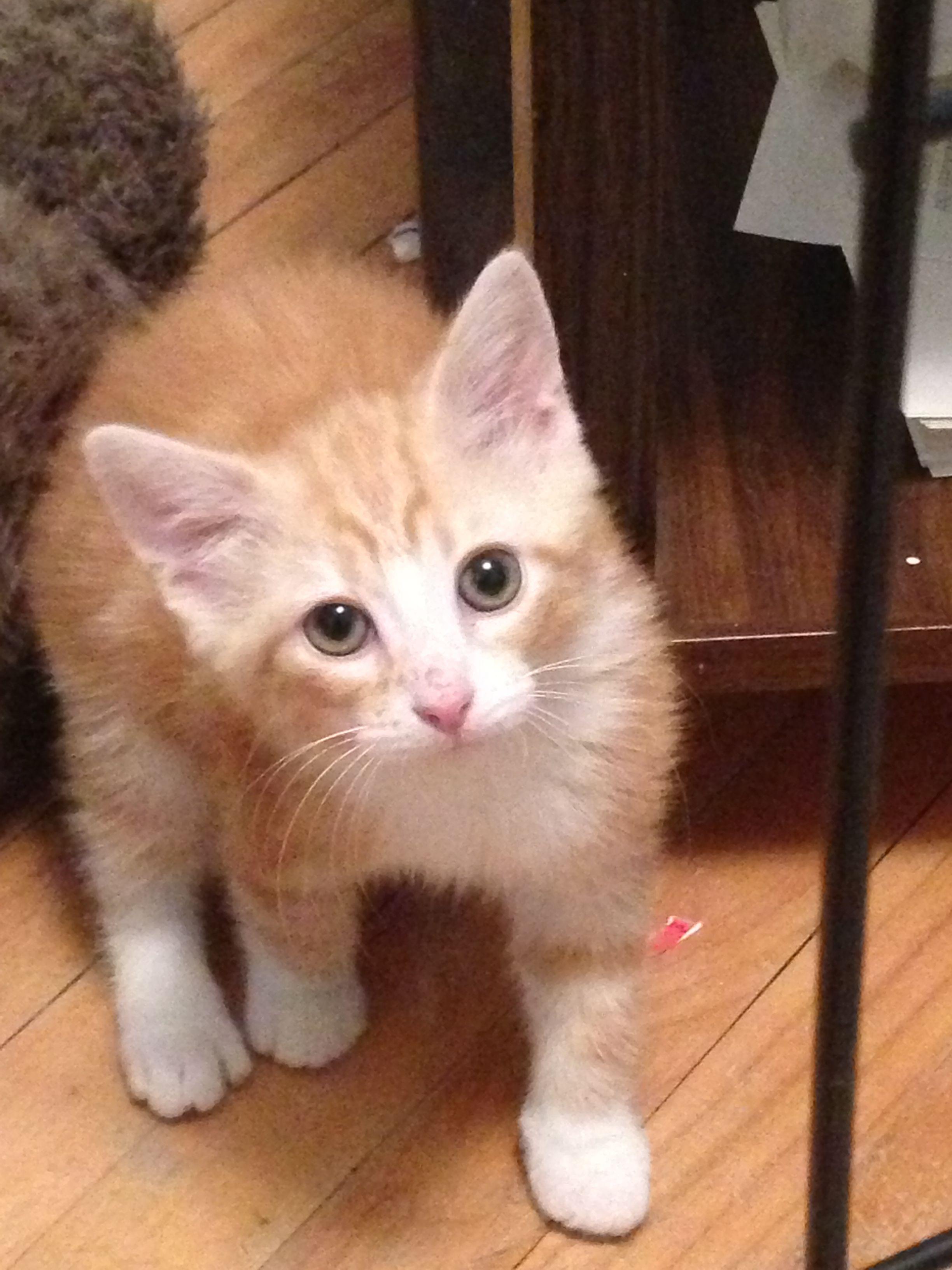 Medium hair orange and white tabby :) 8 weeks old Finnigan!