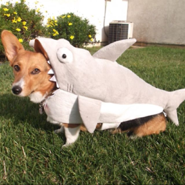 Corgi In A Shark Costume Pet Costumes Cute Dog Photos Kittens In Costumes
