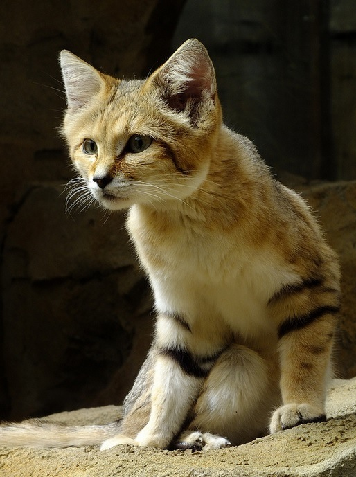 The Sand Cat S Foot Coverings Allow Them To Walk On Sand Without Sinking Leaving Their Footprints Nearly Invisible Sand Cat Wild Cat Species Cats