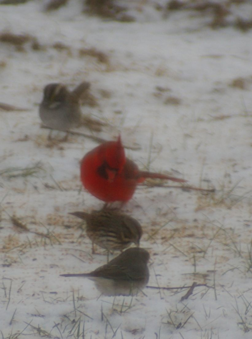 Winter time meal time for  Cardinal among the sparrows.