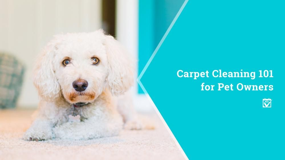 Carpet cleaning 101 for pet owners how to clean carpet