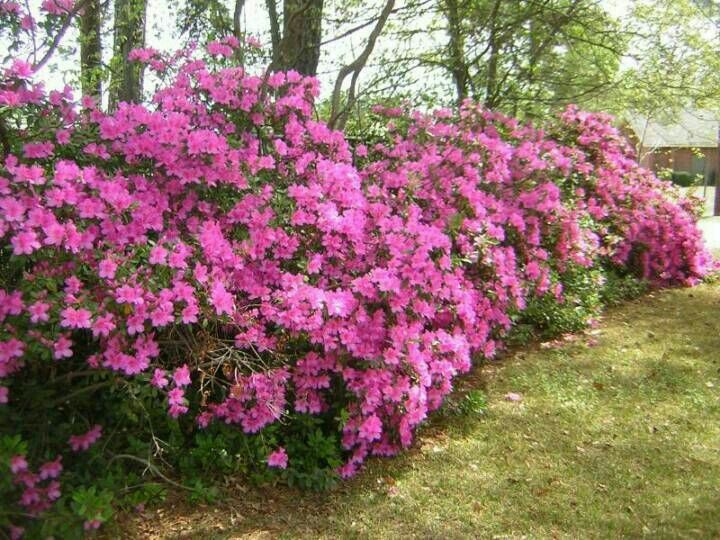 Gumpo Azalea 6 30 Tall 6 30 Wide Evergreen Blooms In Late Spring Summer Needs Part Shade Plant In Semi Fertile Soil T Part Shade Plants Azalea Bush Azaleas