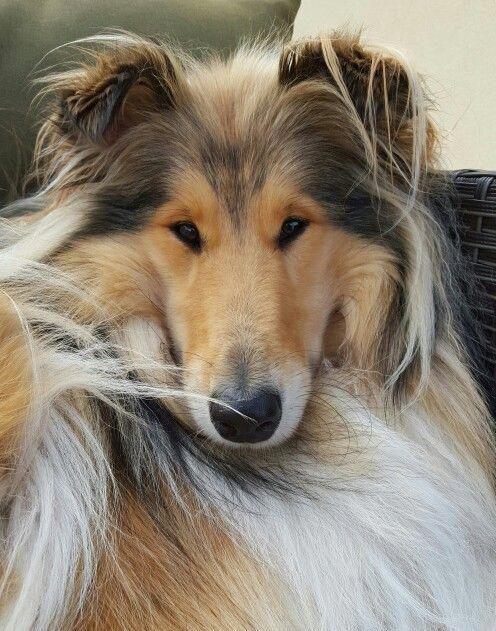 Rough Collie Emma #shetlandsheepdogminiature | Rough ...