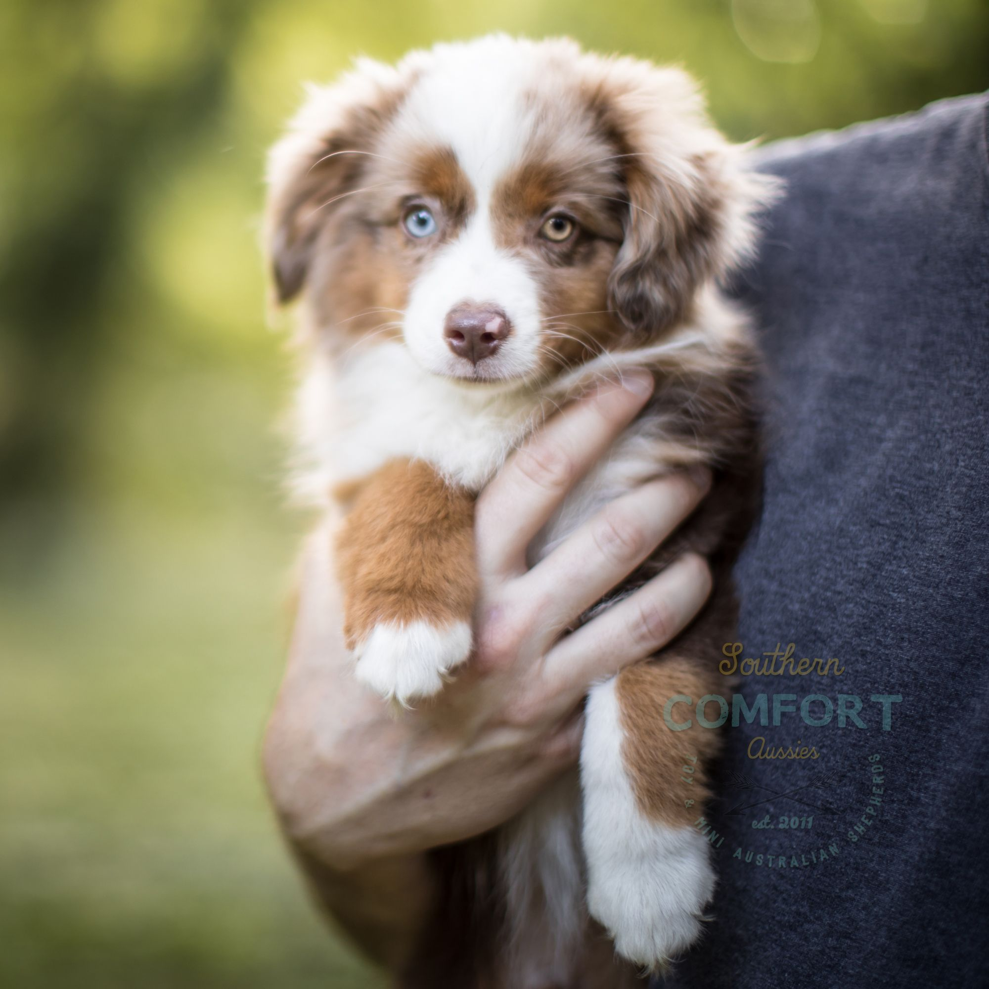 Australian Shepherd Puppy With Two Different Colored Eyes