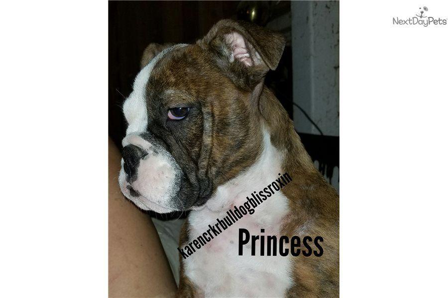 Princess Bulldog Puppy For Sale Near Fayetteville Arkansas 3b07aaf5 4651 Bulldogs For Sale Bulldog Puppies For Sale Puppies For Sale